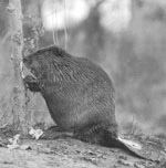 Photo of beaver cutting poplar, Unexpected Wildlife Refuge photo