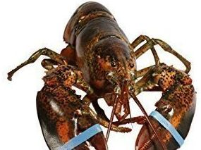 Captive lobster