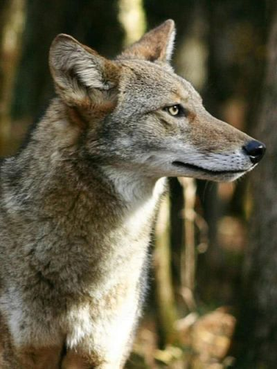 Coyote, photo by wpclipart