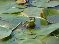 American bullfrog on lily pad in main pond (May 2020)