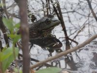 American bullfrog in main pond, Unexpected Wildlife Refuge photo