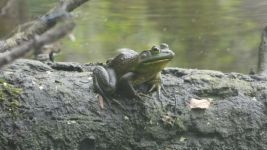 American bullfrog, Unexpected Wildlife Refuge photo