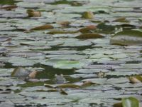 American bullfrogs among lily pads in main pond (May 2020)
