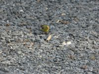 American goldfinch female searching for food near Headquarters (Jul 2020)