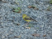 American goldfinch female near headquarters (Aug 2020)