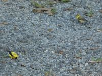 American goldfinch male (looking for food) and female near headquarters (Aug 2020)