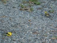 American goldfinch male and female near headquarters (Aug 2020)