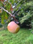 American persimmon hanging from tree (Oct 2017)