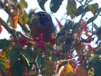 American robin amongst dogwood berries, Unexpected Wildlife Refuge photo