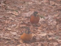 American robins, Unexpected Wildlife Refuge photo