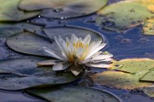 American white waterlily in main pond, photo by Leor Veleanu (Jun 2019)