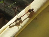 Autumn meadowhawk dragonflies 'in tandem' after mating, photo by Dave Sauder