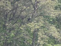 Bald eagle calling in tree next to main pond, Unexpected Wildlife Refuge photo