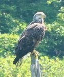 Juvenile bald eagle, Unexpected Wildlife Refuge photo
