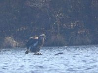 Bald eagle, juvenile, ruffled by wind on branch in main pond (Mar 2018)