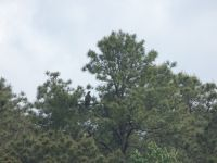Bald eagle juvenile in tree next to main pond (May 2020)