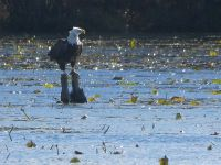 Bald eagle on stump in main pond, Unexpected Wildlife Refuge photo