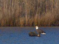 Bald eagle perched on stump in main pond (Dec 2018)