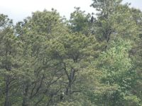 Bald eagles, adult and juvenile in nearby trees next to main pond (May 2020)