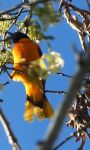 Baltimore oriole, Unexpected Wildlife Refuge photo
