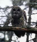 Barred owl in 1990, photo by Bernie Hehl