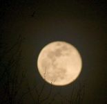 Bat and full moon, Unexpected Wildlife Refuge photo