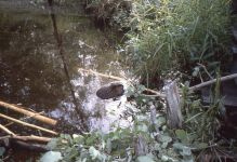 Beaver (young) eating in water (Sep 1984)