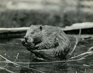 Beaver we called Whiskers, photo by Hope Sawyer Buyukmihci (1965)