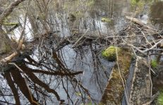 Beaver dam across flooded Bluebird Trail walkway (Apr 2020)