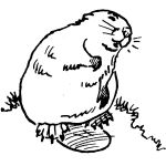 Beaver, sketch by Hope Sawyer Buyukmihci, Refuge co-founder and artist