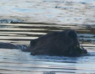Beaver eating in main pond (Apr 2017)