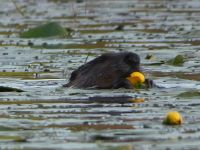 North American beaver eating water lily, Unexpected Wildlife Refuge photo