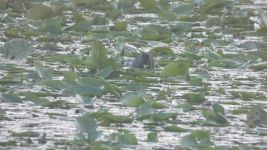 Beaver eating water lily in main pond (Jun 2019)