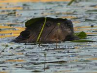 Beaver and lily pad, Unexpected Wildlife Refuge photo
