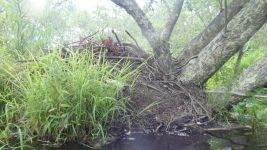 Beaver lodge 1, along stream between main pond and Miller Pond (Jul 2019)