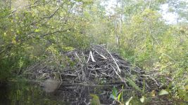 Beaver lodge 3, along stream between main pond and Miller Pond (Jul 2019)
