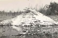 Beaver lodge with snow (undated)