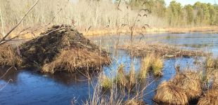 Beaver lodge and food raft, Unexpected Wildlife Refuge photo