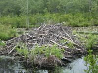 Beaver lodge, Unexpected Wildlife Refuge photo