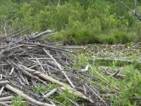 Beaver lodge in main pond (Jun 2020)