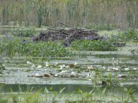 Beaver lodge in Miller Pond (Jul 2020)