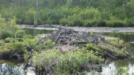 Beaver lodge near old Wild Goose Blind in main pond (May 2019)