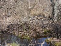 Beaver lodge (old) near Bluebird Trail (Mar 2020)
