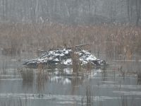 Beaver lodge with snow in Miller Pond (Dec 2019)