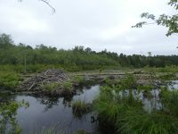 Beaver lodges (left and middle) and food raft (far right) in main pond (Jun 2020)