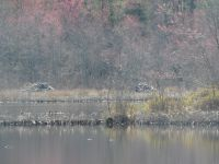 Beaver lodges in main pond (Mar 2020)