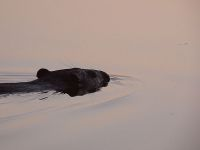 Beaver swimming in main pond at sunset (Sep 2017)