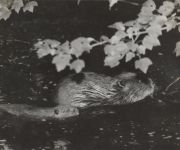 Beaver called Maria, 4 month old child (undated)