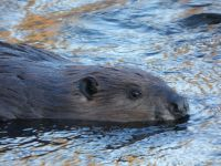 Beaver in Miller Pond, Unexpected Wildlife Refuge photo
