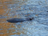 Beaver at Miller Pond outflow area (Feb 2019)